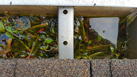 20150707 114914 tree seeds germinating in clogged gutter small
