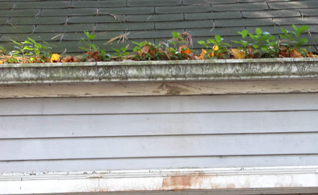 clogged gutter with weeds large